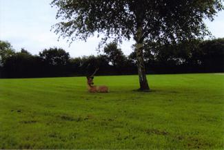 stag-under-tree